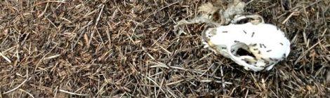 busy ants devouring skull